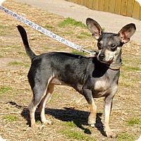 Adopt A Pet :: Pixie - Joplin, MO