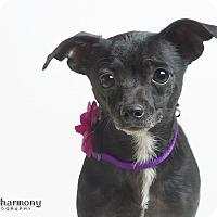 Adopt A Pet :: Dixie - Chandler, AZ