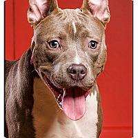 Adopt A Pet :: Karma - drd grad - Owensboro, KY