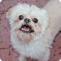 Brussels Griffon Mix Dog for adoption in Middle Village, New York - DEWEY