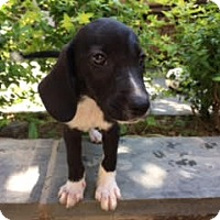Adopt A Pet :: Baby Twain - Rockville, MD