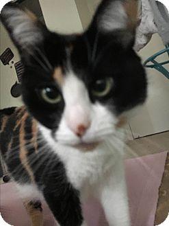 Domestic Shorthair Cat for adoption in Pasadena, California - Chu Chu