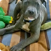 Adopt A Pet :: Angel Coming Attraction!  12 weeks old - Rowayton, CT