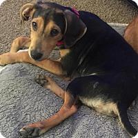 Adopt A Pet :: Oq litter - Argos - Livonia, MI