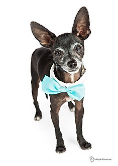 Miniature Pinscher/Chihuahua Mix Dog for adoption in Scottsdale, Arizona - Peanut
