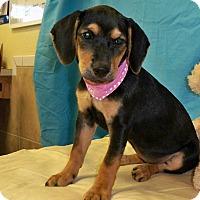 Adopt A Pet :: CAMILLE - Poteau, OK