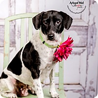 Jack Russell Terrier/Beagle Mix Dog for adoption in Cincinnati, Ohio - Maddie