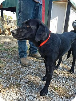 Labrador Retriever/Flat-Coated Retriever Mix Dog for adoption in Sparta, New Jersey - Maggie May
