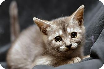 Domestic Shorthair Kitten for adoption in Atlanta, Georgia - Moe161883