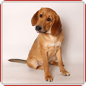 Bloodhound Mix Dog for adoption in Glendale, Arizona - Indiana Bones