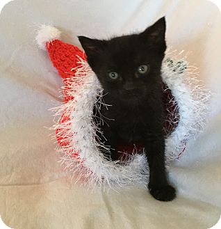 Domestic Shorthair Kitten for adoption in Wayne, New Jersey - Colt