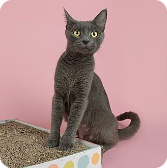 Domestic Shorthair Cat for adoption in Wilmington, Delaware - Anastasia