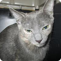 Adopt A Pet :: Brittney - Irving, TX