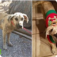 Adopt A Pet :: Harley - Austin, TX