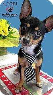 Chihuahua Mix Dog for adoption in Council Bluffs, Iowa - Flynn