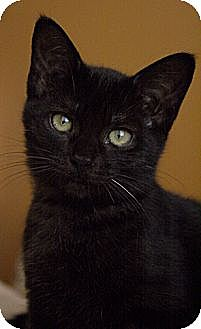Domestic Shorthair Cat for adoption in La Canada Flintridge, California - Hayley