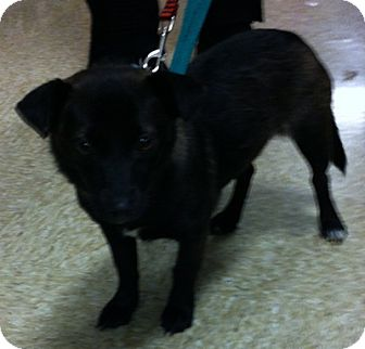 Chihuahua/Chihuahua Mix Dog for adoption in Loudonville, New York - Avery