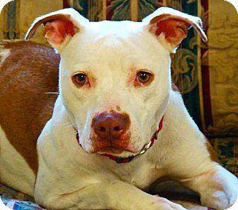 American Pit Bull Terrier Dog for adoption in Groton, Massachusetts - Sadie