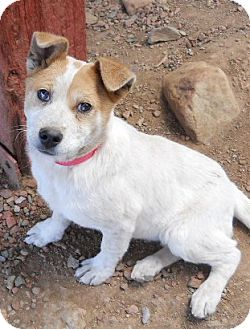 Cattle Dog Mix Puppy for adoption in dewey, Arizona - Sienna