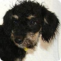 Adopt A Pet :: Gordie - Gilbert, AZ