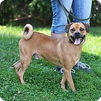 Adopt A Pet :: Loki - Springfield, IL