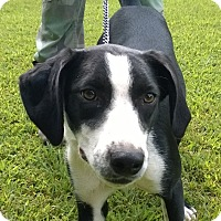 Labrador Retriever/Hound (Unknown Type) Mix Dog for adoption in Jackson, Tennessee - Neta