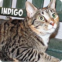 Domestic Shorthair Cat for adoption in Ridgeland, South Carolina - Indigo