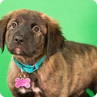 Adopt A Pet :: Cash - Berkeley Heights, NJ