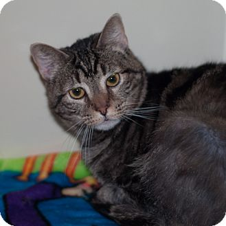 Egyptian Mau Cat for adoption in New Martinsville, West Virginia - Sophie