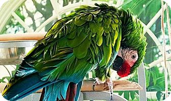 Macaw for adoption in Plymouth, Minnesota - Colonel
