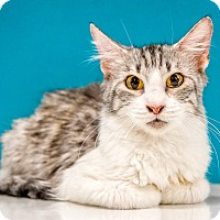 Domestic Mediumhair Cat for adoption in Chandler, Arizona - Silver Fox