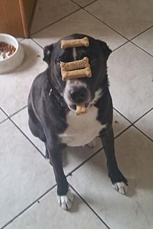 Pit Bull Terrier/Border Collie Mix Dog for adoption in Chandler, Arizona - ARGOS