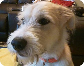 Great Pyrenees/Airedale Terrier Mix Puppy for adoption in Normandy, Tennessee - Rex