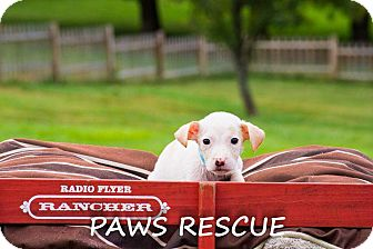 Labrador Retriever/Collie Mix Puppy for adoption in Forest Hill, Maryland - Dakota