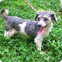 Adopt A Pet :: Simon - Bloomington, IN