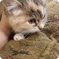 Domestic Shorthair Kitten for adoption in Brainardsville, New York - Little Mamma