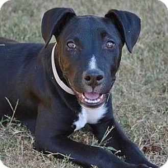 Labrador Retriever Mix Puppy for adoption in Athens, Georgia - Onyx
