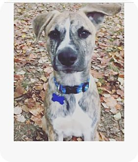 Boxer/Labrador Retriever Mix Puppy for adoption in Greenfield, Wisconsin - Dak
