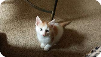 Domestic Mediumhair Kitten for adoption in Mesa, Arizona - TUK