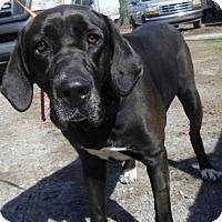 Adopt A Pet :: Marleigh - Frederick, MD