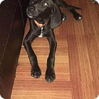 Adopt A Pet :: Dahlia - Brooklyn, NY