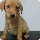 Adopt A Pet :: Baby Lincoln--No Longer Accepting Applications