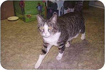 Domestic Shorthair Cat for adoption in Dale City, Virginia - Prince William