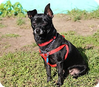 Chihuahua Dog for adoption in Tinton Falls, New Jersey - Taco Two