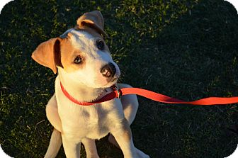 Catahoula Leopard Dog/Border Collie Mix Puppy for adoption in Norman, Oklahoma - Marshall