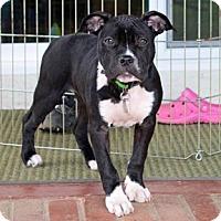 Adopt A Pet :: Gladys - San Jose, CA