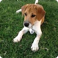 Adopt A Pet :: Dodger - Phoenix, AZ
