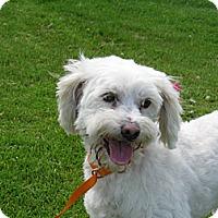 Adopt A Pet :: Annabelle - Tumwater, WA