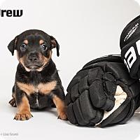 Adopt A Pet :: Drew - Irvine, CA