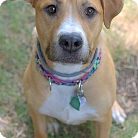 Pit Bull Terrier/Rhodesian Ridgeback Mix Dog for adoption in College Station, Texas - Aurora